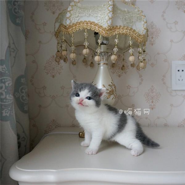 cfa血统证书繁育权 开脸正五粉蓝白猫英短纯种健康蓝白猫