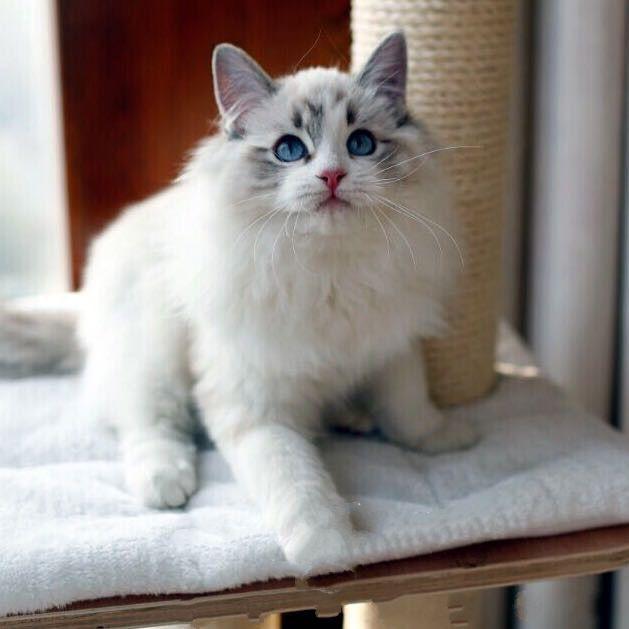 猫舍直销蓝猫,英短,布偶,加菲,无毛,渐层,美短,品种全有