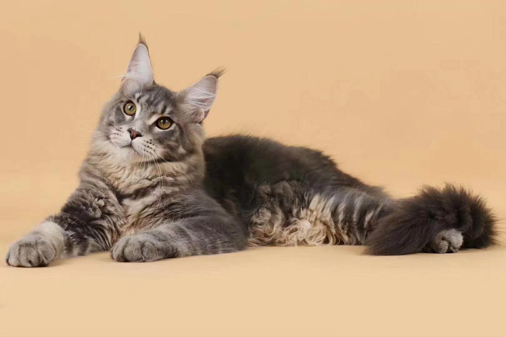 缅因猫 签协议包养活 缅因猫签协议包健康