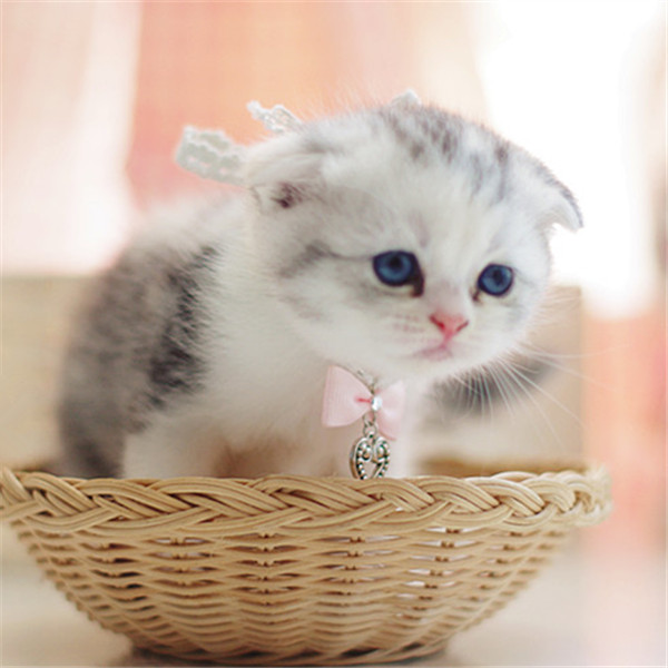 蓝猫折耳猫幼猫活体高地苏格兰渐层折耳猫宠物美短折耳纯种