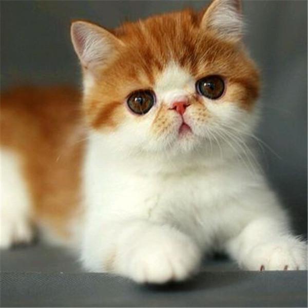 加菲猫活体波斯猫幼猫纯种异国短毛猫健康水滴眼宠物猫