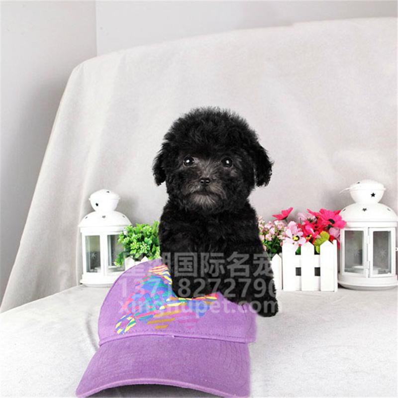 精品赛级泰迪犬出售中 各种名犬等您来选购1