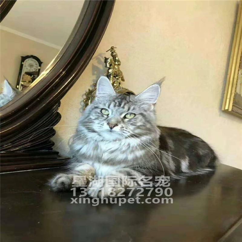 缅因猫纯种幼猫缅因库恩猫缅因猫活体 铲屎公社猫舍