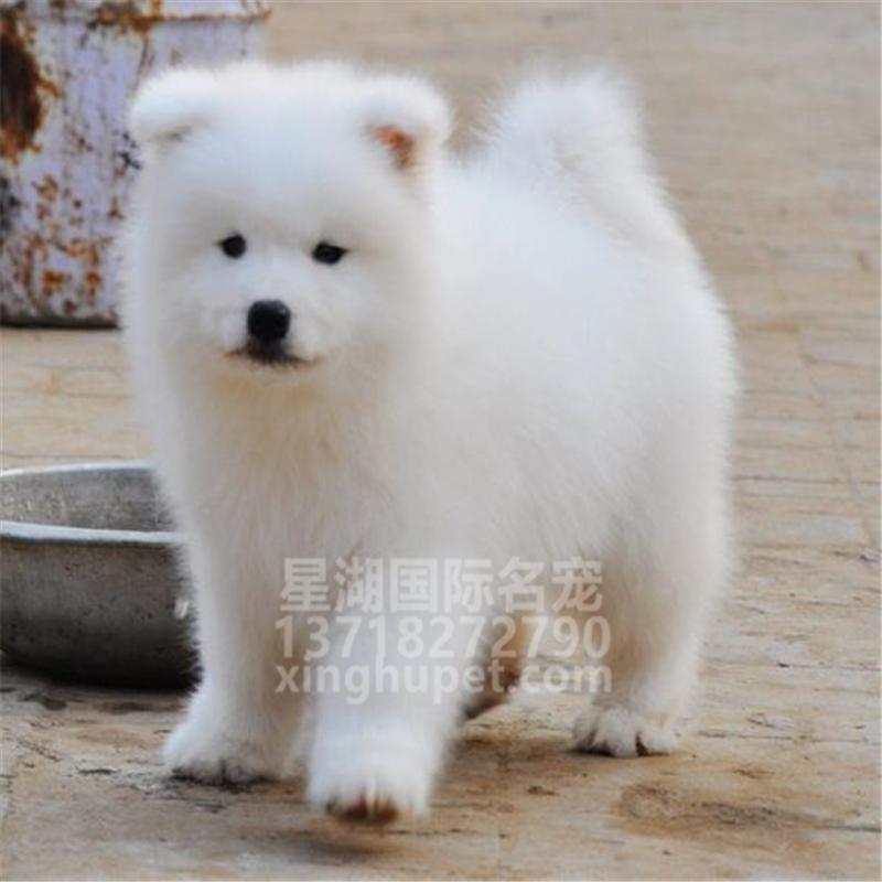 出售纯种萨摩耶幼犬出售 萨摩耶活体 疫苗已做完 欢迎选购3