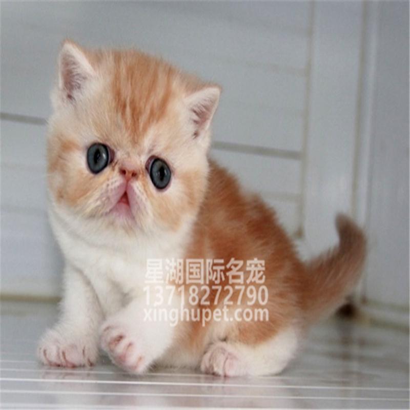 纯种加菲猫活体宠物猫咪异国短毛猫小奶猫红小胖同款幼猫波斯猫