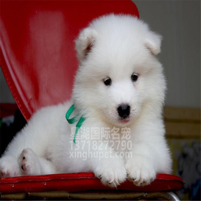 出售纯种萨摩耶幼犬出售 萨摩耶活体 疫苗已做完 欢迎选购1