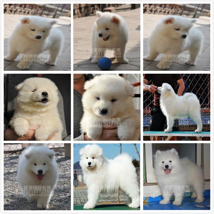 出售纯种萨摩耶幼犬出售 萨摩耶活体 疫苗已做完 欢迎选购6