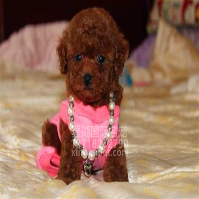 精品赛级泰迪犬出售中 各种名犬等您来选购4