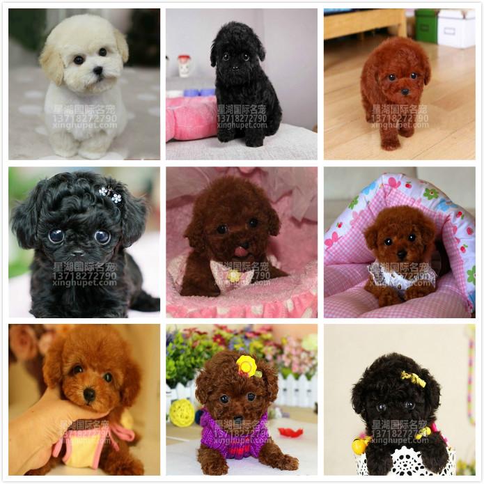 精品赛级泰迪犬出售中 各种名犬等您来选购10