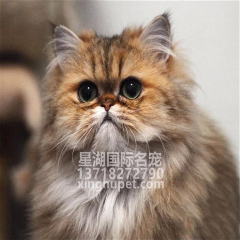 活体银色金吉拉猫 金色金吉拉猫 折耳纯种猫舍宠物猫小猫幼猫