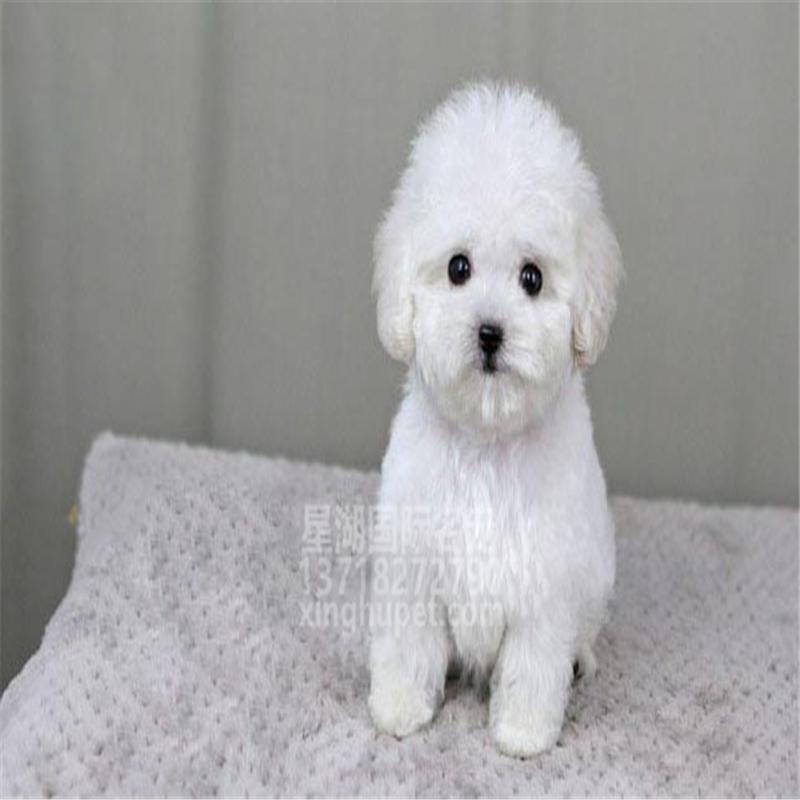 精品赛级泰迪犬出售中 各种名犬等您来选购3