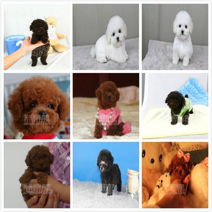 精品赛级泰迪犬出售中 各种名犬等您来选购6