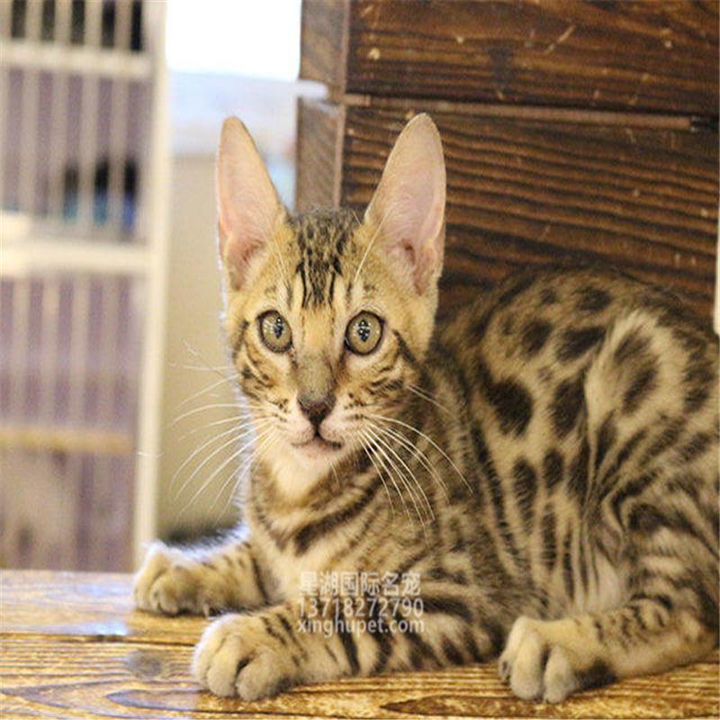 猫舍出售纯种孟加拉豹猫活体幼猫巨型金钱豹银豹虎斑豹纹宠物猫
