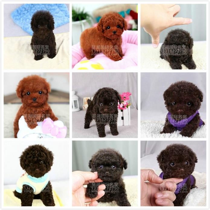 精品赛级泰迪犬出售中 各种名犬等您来选购9