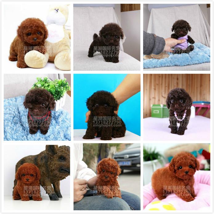 精品赛级泰迪犬出售中 各种名犬等您来选购8