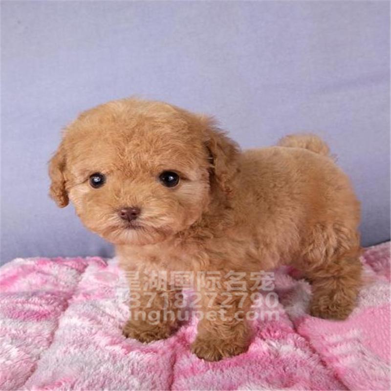 精品赛级泰迪犬出售中 各种名犬等您来选购2