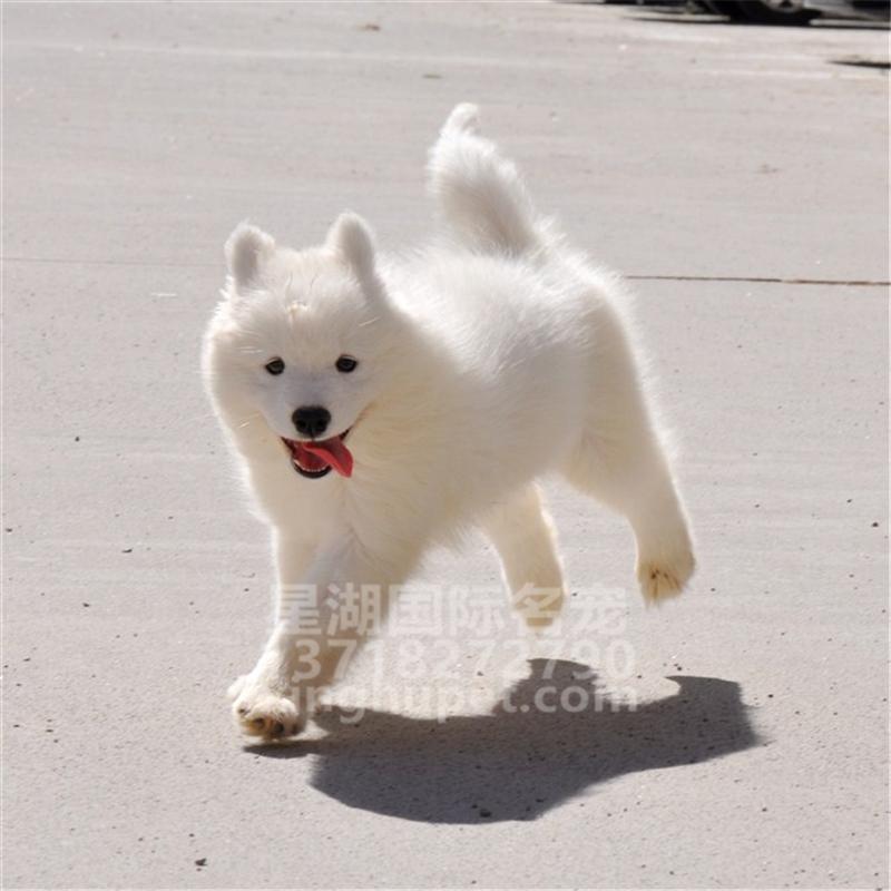 出售纯种萨摩耶幼犬出售 萨摩耶活体 疫苗已做完 欢迎选购4