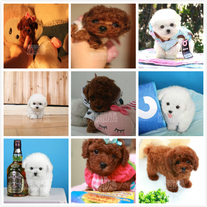 精品赛级泰迪犬出售中 各种名犬等您来选购7