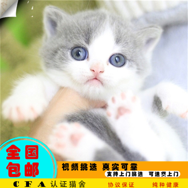 CFA会员出售精品纯种曼基康猫 保障血统纯正疫苗驱虫已做好