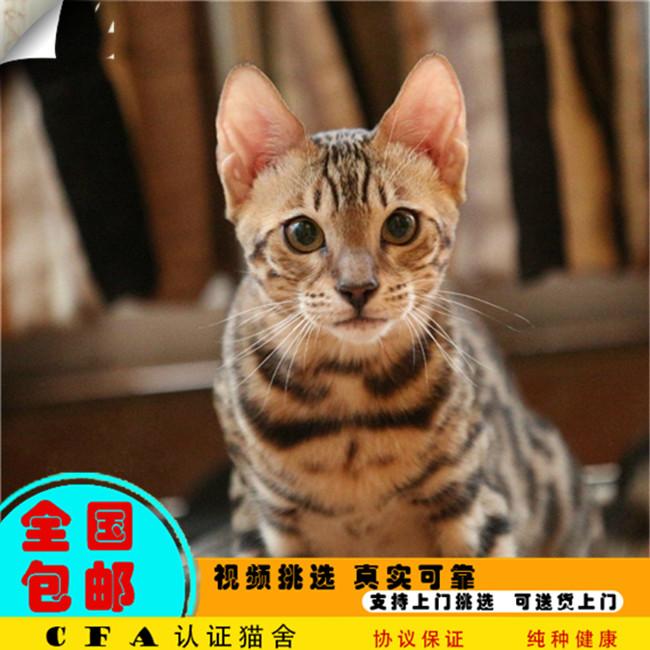 CFA会员出售精品纯种豹猫 保障血统纯正疫苗驱虫已做好