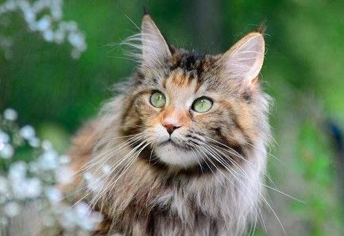 缅因猫幼猫活体纯种宠物猫活体幼崽小奶猫宠物猫活体大型猫咪缅