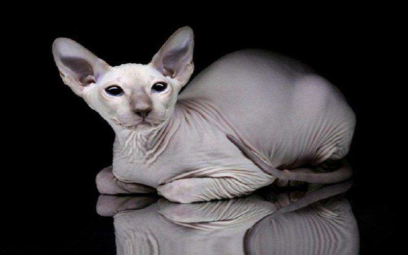 活体大型宠物缅因猫烟灰色虎斑活体加拿大无毛猫矮脚孟买猫折耳2