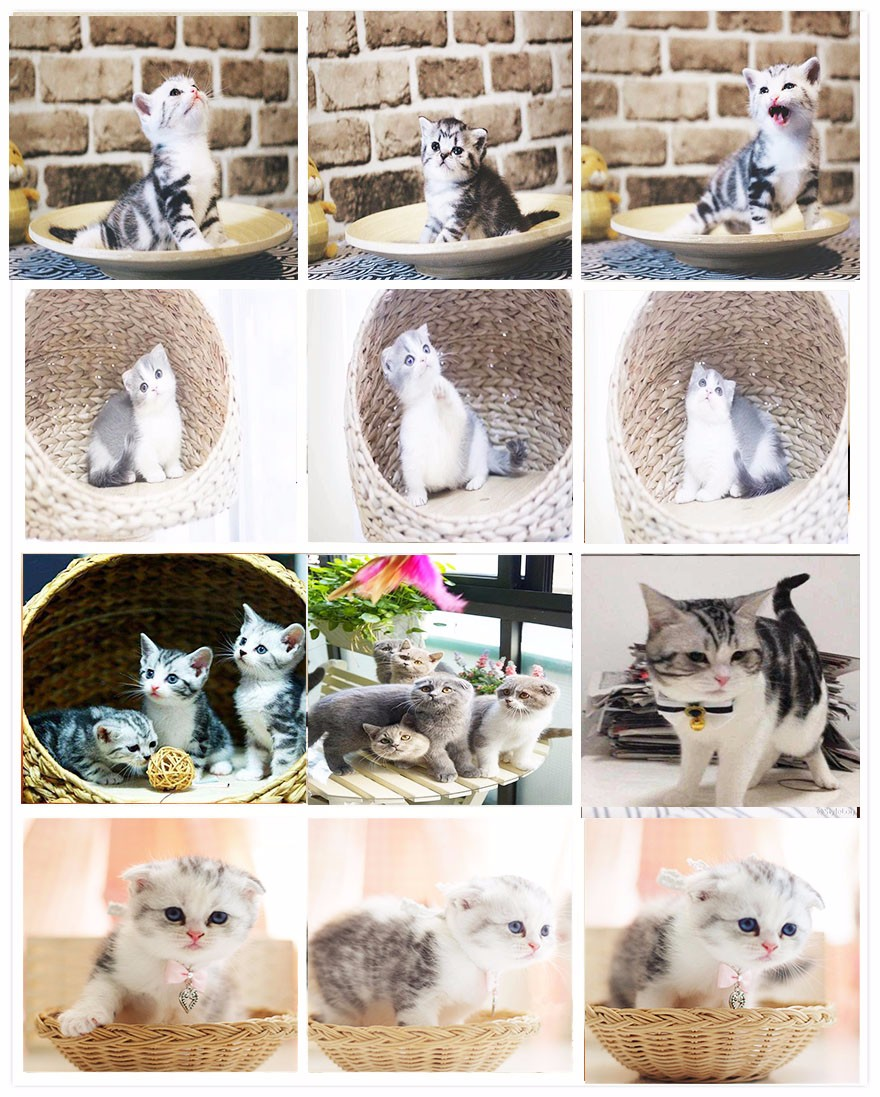 活体大型宠物缅因猫烟灰色虎斑活体加拿大无毛猫矮脚孟买猫折耳8