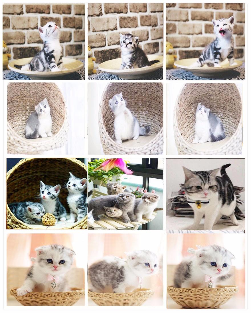 精品高品质中华田园猫热卖中微信咨询欢迎选购8