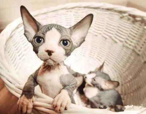活体大型宠物缅因猫烟灰色虎斑活体加拿大无毛猫矮脚孟买猫折耳4