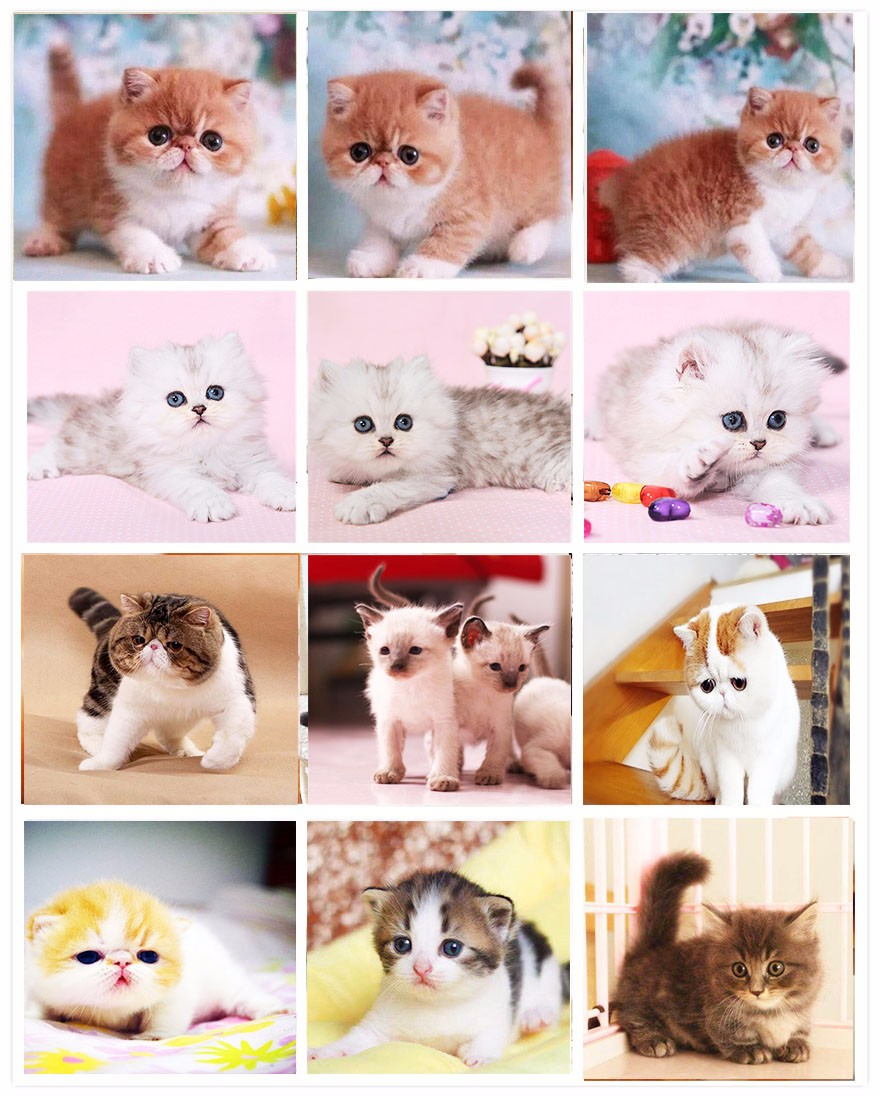 活体大型宠物缅因猫烟灰色虎斑活体加拿大无毛猫矮脚孟买猫折耳7