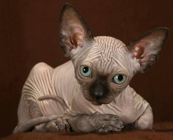 活体大型宠物缅因猫烟灰色虎斑活体加拿大无毛猫矮脚孟买猫折耳3
