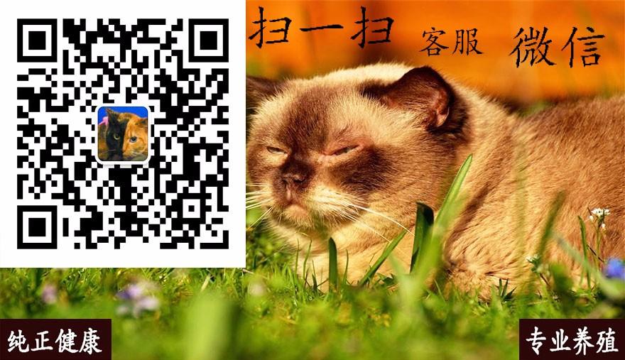 活体大型宠物缅因猫烟灰色虎斑活体加拿大无毛猫矮脚孟买猫折耳5