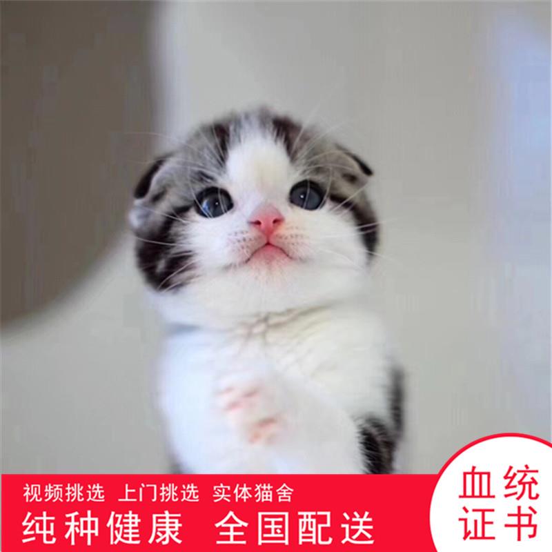 折耳猫活体宠物猫纯正血统包子脸蓝灰色猫咪布偶猫加菲猫