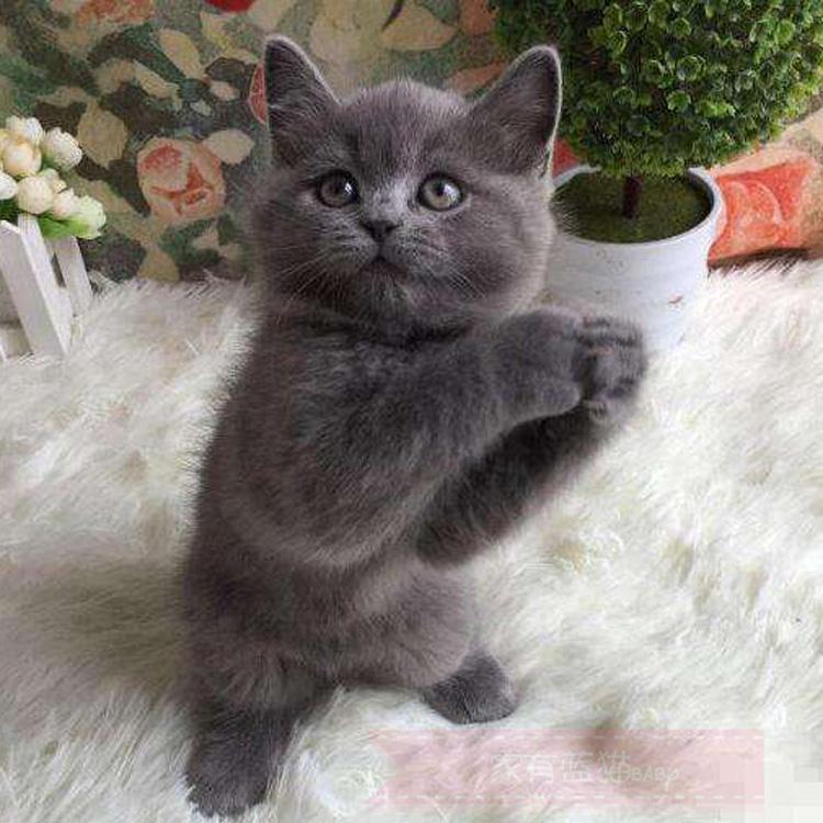 出售宠物猫咪活体纯种英国短毛猫蓝猫包子脸英短猫 蓝