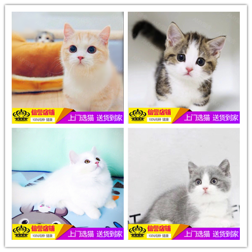 出售纯种美国短毛猫 美短加白折耳银虎斑起司猫活体幼猫