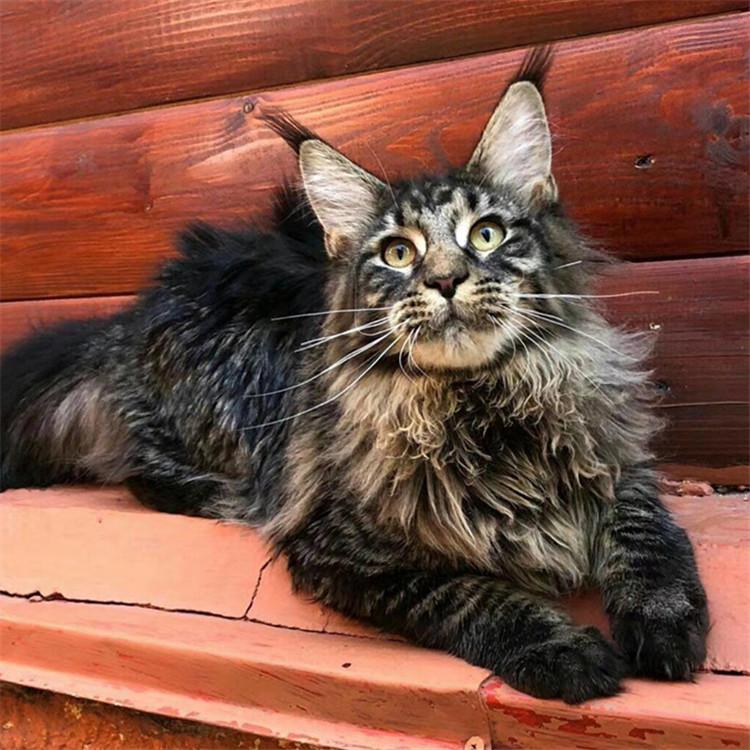 缅因猫活体红虎斑银虎斑棕虎斑巨型长毛猫缅因挪威森林幼猫
