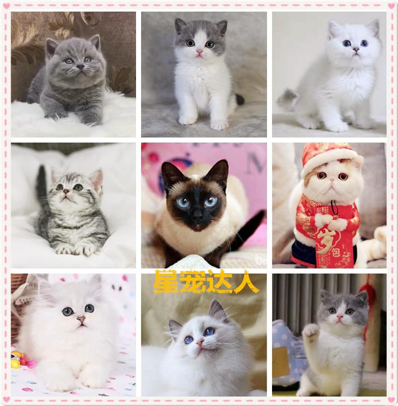 缅甸猫咪活体 短毛猫加菲猫 高地波斯猫布偶猫幼猫