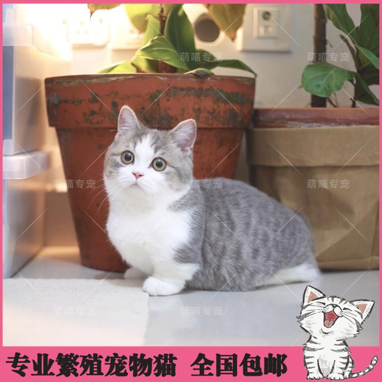 英国短毛猫活体曼基康矮脚猫蓝白乳白渐层折耳纯种家养幼猫