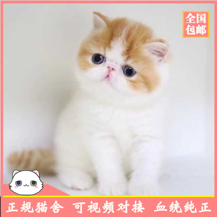加菲猫活体幼猫 异国短毛猫 加菲猫活体 猫咪活体 加菲猫猫