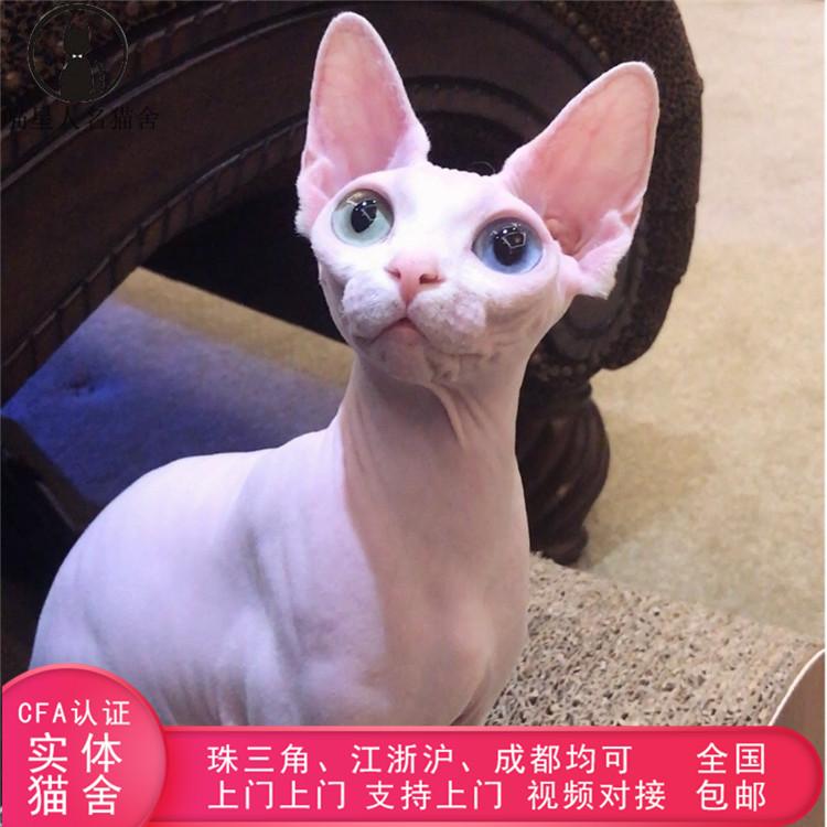 加拿大无毛猫幼猫活体纯种斯芬克斯猫蓝眼白皮无毛猫CFA认证