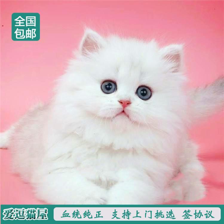 出售纯种波斯猫 加菲猫 活体宠物幼猫 异国短毛 长毛猫