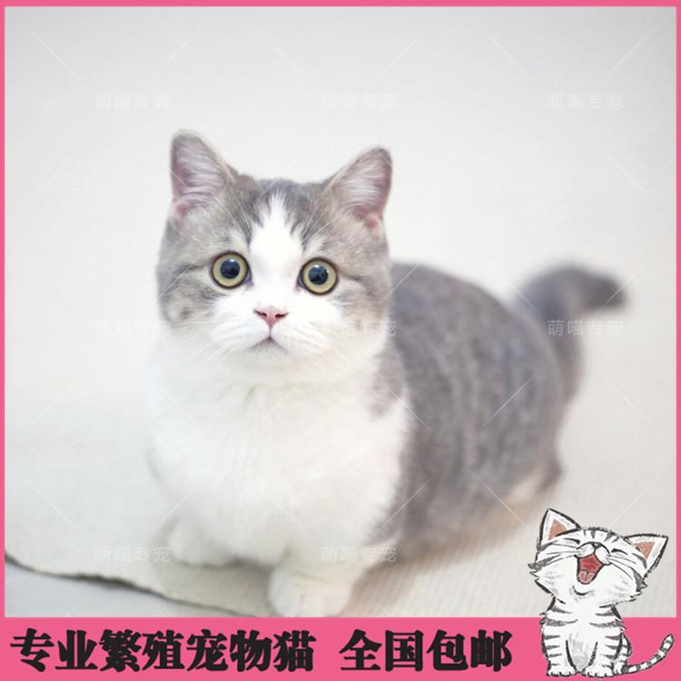 出售纯种曼基康猫 加菲猫 活体宠物幼猫 异国短毛 包邮