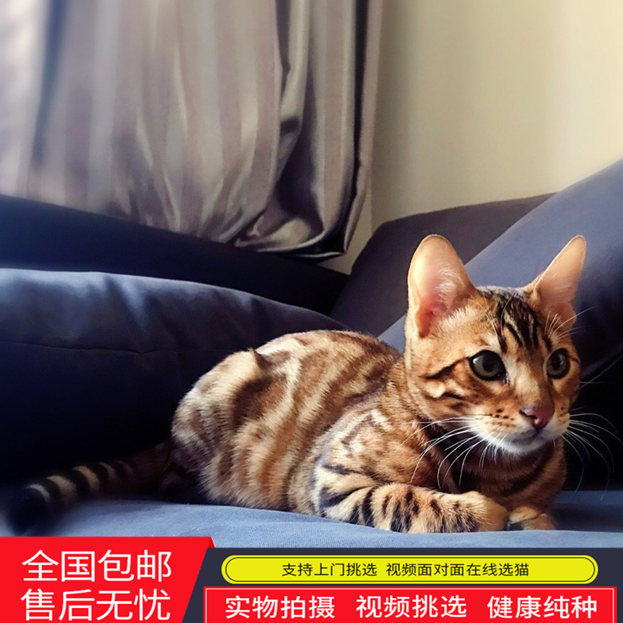 纯种豹猫纯种孟加拉豹猫宠物活体幼猫宠物纯种猫豹猫咪