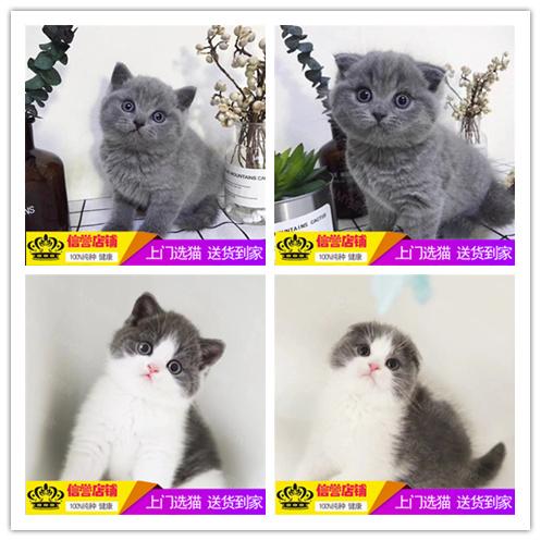 纯种英国短毛猫活体幼猫 家养金渐层英短渐层活体幼猫英短