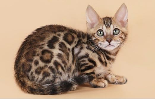 繁殖基地出售纯种豹猫多少钱一只 孟加拉豹猫掉毛多吗