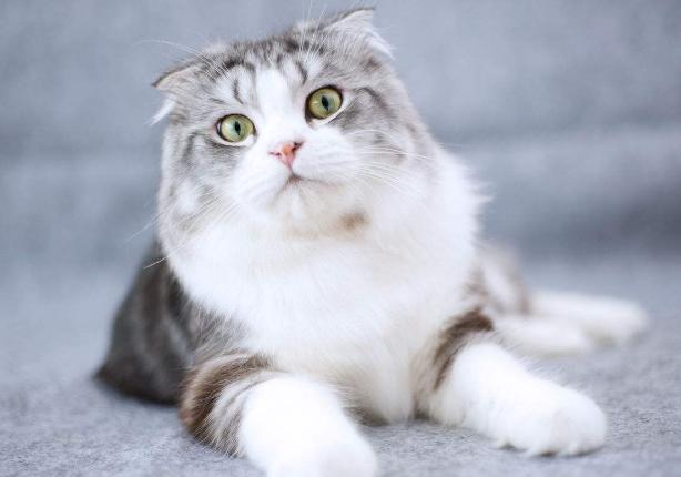 繁殖基地出售纯种折耳多少钱一只 折耳猫难养吗