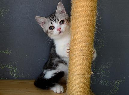 繁殖基地出售纯种曼基康多少钱一只 曼基康猫咪难养吗