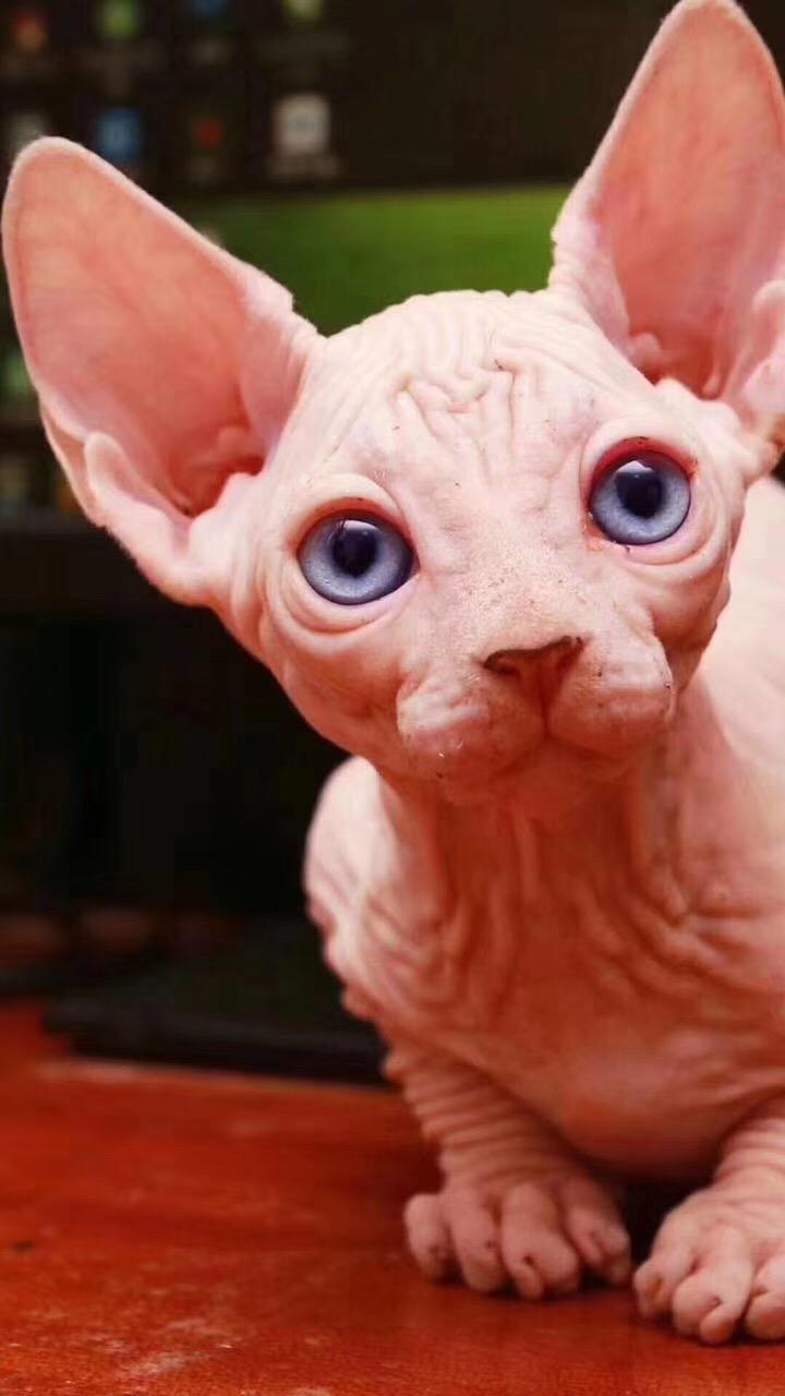 繁殖基地出售纯种无毛猫少钱一只 无毛猫顽皮吗