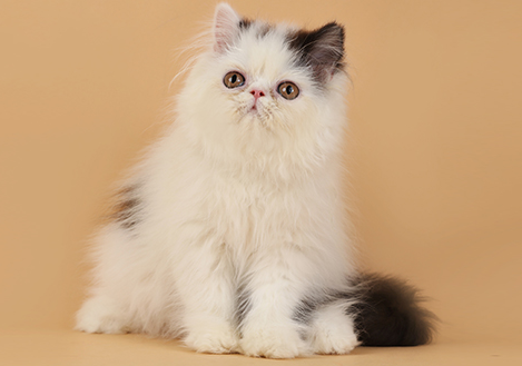 繁殖基地出售纯种波斯猫多少钱一只 纯白波斯猫掉毛多吗