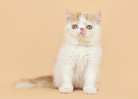 繁殖基地出售纯种加菲猫多少钱一只 活泼加菲猫掉毛多吗